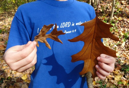 oak-leaf-identification-