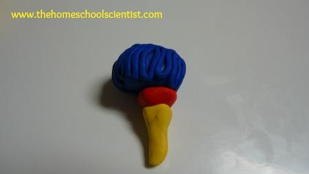 cerebrum, cerebellum and brainstem