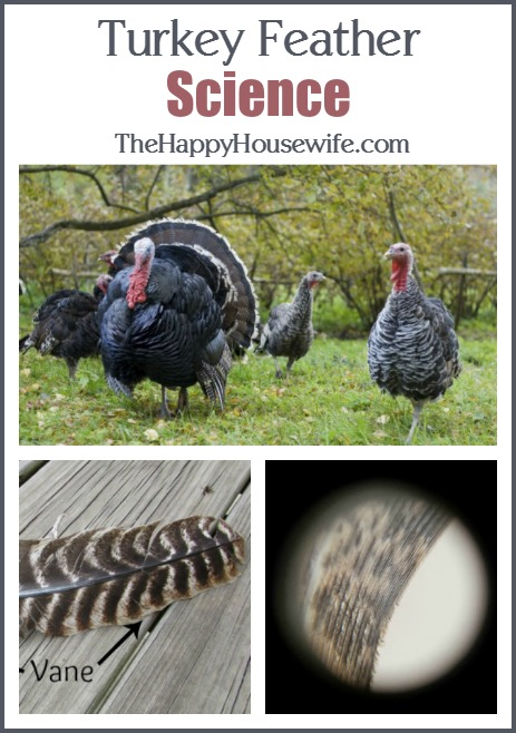 Turkey Feather Science at The Happy Housewife