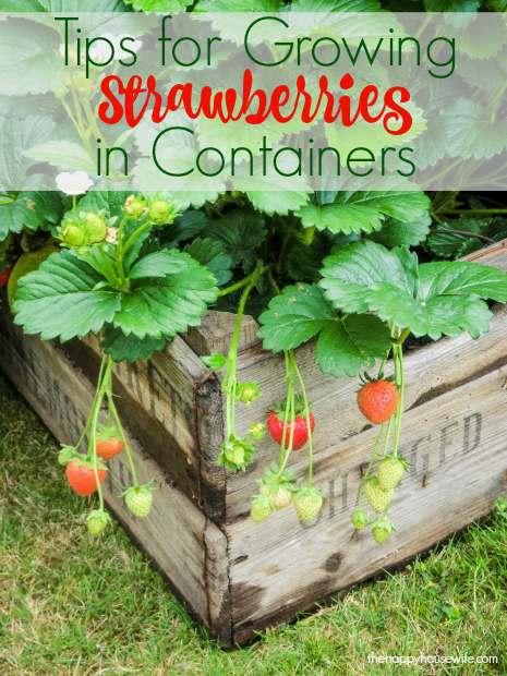 7 tips for growing strawberries in containers the happy housewife frugal living - Salads can grow pots eat fresh ...