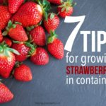 seven tips for growing strawberries in containers
