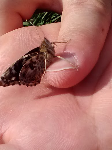 butterfly tongue