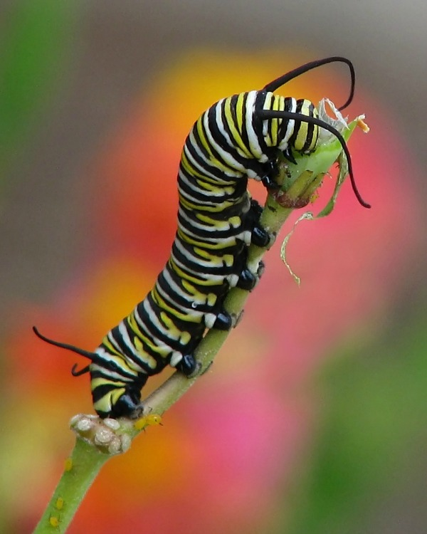 Butterfly Life Cycle Learning Fun (Monarch Butterfly Caterpillar)| The Happy Housewife